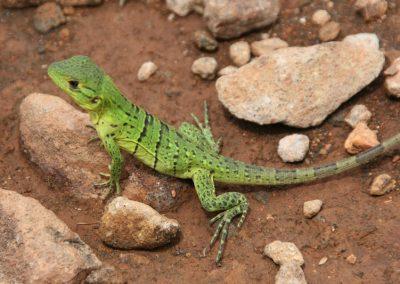 21-lizard
