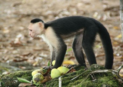 22-white-faced-monkeys