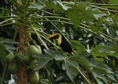 24-toucan-in-the-tropical-garden